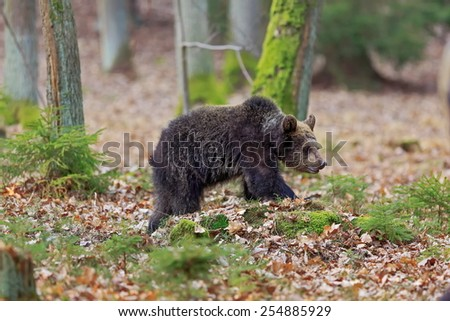 small brown bear - stock photo