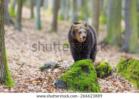 small brown bear in the woods - stock photo