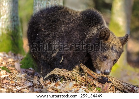 small brown bear trying to bite into the wood - stock photo