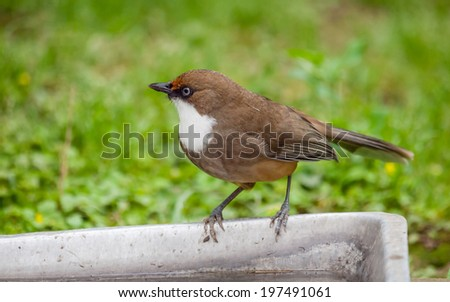 Small brown bird looking around in nature - stock photo