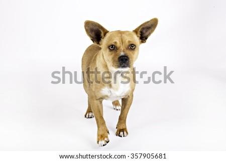 Small brown dog walking toward camera - stock photo