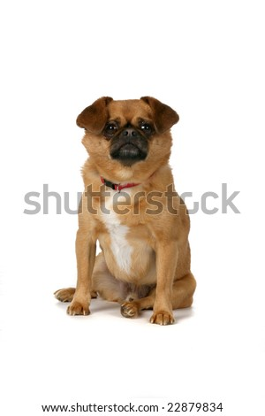 small brown dog with floppy ears sitting on white background