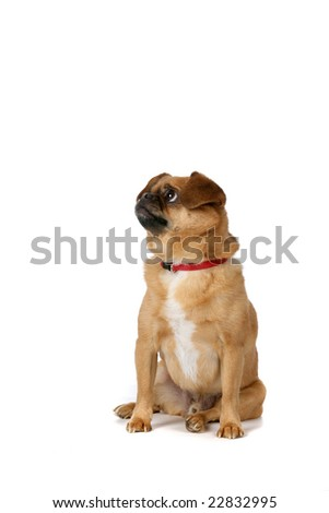 small brown dog with folded over ears and a red collar