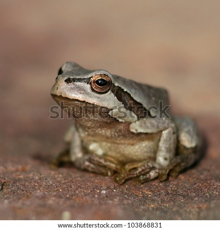 Small brown leaf frog - stock photo