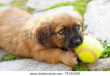 Small brown puppy, old only few weeks is playing with ball. - stock photo
