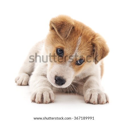 Small brown puppy on a white background.