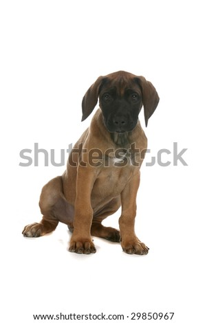 small brown puppy with black nose on white background