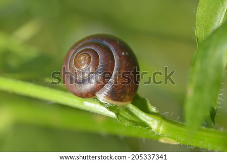 Small brown snail on a green grass