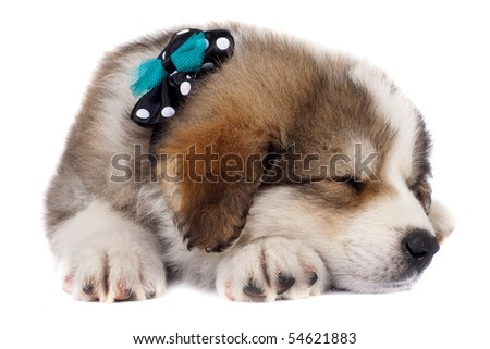 small bucovinean shepard puppy wearing a green and black neck bow sleeping - stock photo