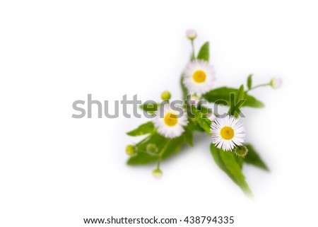 Small bunch of fleabane flowers, detail of one bloom with blurred background.  - stock photo