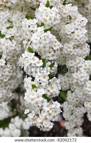 Small bunches of white yarrow flowers, achillea millefolium - stock photo