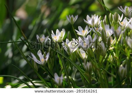 small bush elegant white garden flowers on a sunny day - stock photo