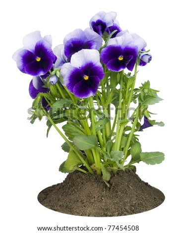 Small bush of spring dark-violet Pansies on a bed isolated on white - stock photo