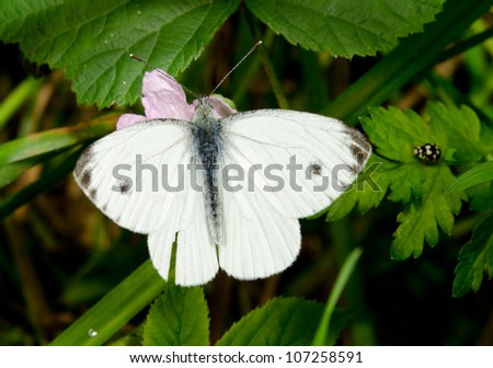 small cabbage white on pink flower from above