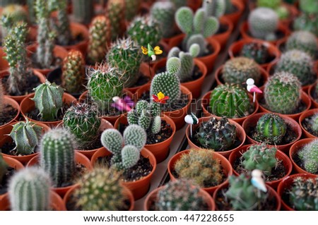 Small cacti in pots - stock photo