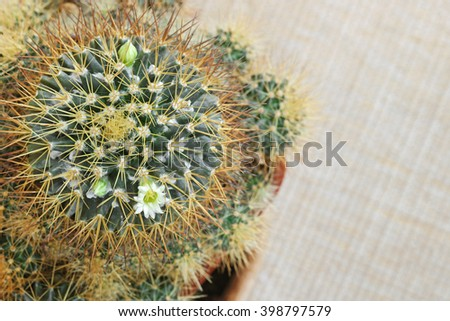 Small Cactus Flower with white petals and yellow pollen (Mammillaria nivosa) on yellow fabric background with copyspace - stock photo