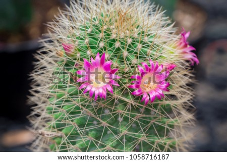 Small cactus have pink flower blooming stock photo safe to use small cactus have pink flower blooming and small stone for groundon the morning mightylinksfo