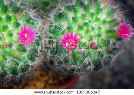 Small cactus have pink flower blooming stock photo download now small cactus have pink flower blooming and small stone for ground on the morning mightylinksfo