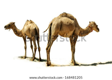 Small camel, close up, isolated on a white background. - stock photo