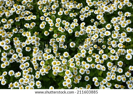Small camomile flowers. Background - stock photo