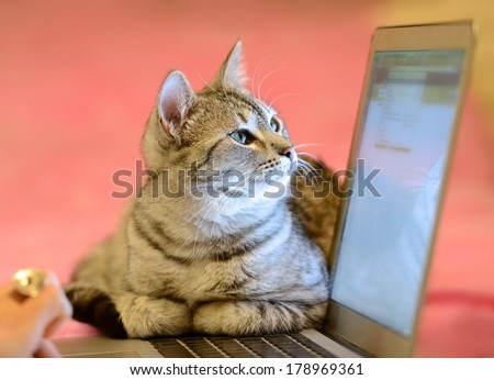Small cat in a home office peeping behind a computer screen, domestic cat in natural background, small cat playing at home, playing cat, cat and computer - stock photo