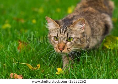 small cat is hunting on green grass - stock photo