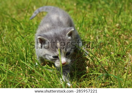 Small cat-Kitten The gray cat with blue eyes . Gray cat with blue eyes. Gray cat. Striped not purebred kitten. Small predator. Small cat.