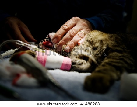 Small cat undergoing anesthesia in preparation for an operation - stock photo
