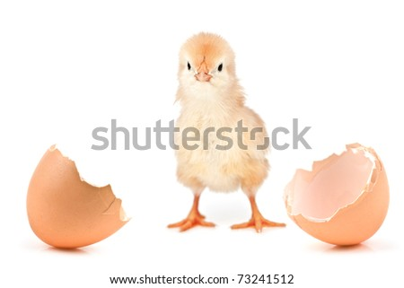 small chicken isolated on white