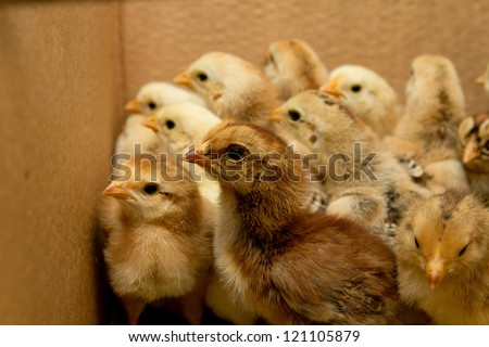 small chicks