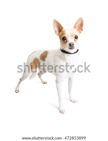 Small Chihuahua breed dog with white fur and tan spots standing and looking into camera
