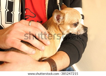 Small chihuahua dog sitting in a man's lap.