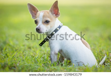 Small chihuahua dog sitting on a green grass park - stock photo