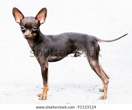 Small Chihuahua dog standing over blurry background
