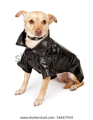 Small Chihuahua mix dog wearing a black leather jacket and a spiked collar, isolated on white - stock photo