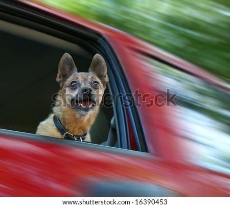 small chihuahua mix in a red vehicle - stock photo