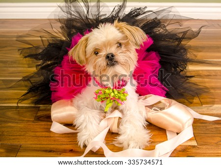 Small Chihuahua Pomeranian Mixed Dog poses in Pink Ballet Tutu on Pointe Shoes - stock photo