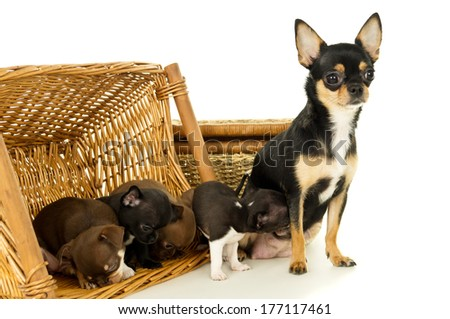 Small chihuahua puppies playing with mom - stock photo