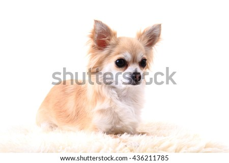 small chihuahua puppy is resting at home