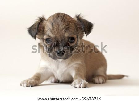 small chihuahua puppy looking at camera - stock photo