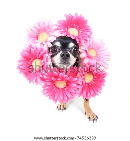 small chihuahua with flowers around his head - stock photo