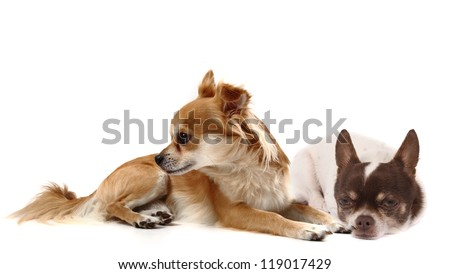 small chihuahuas isolated on the white background