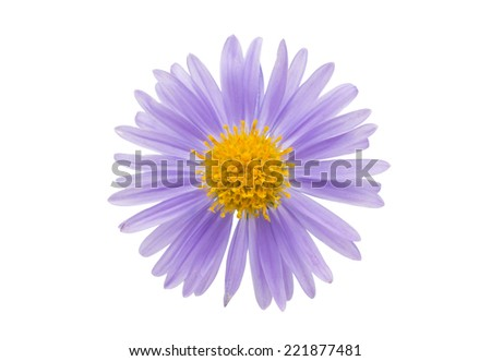 small chrysanthemum flowers on a white background - stock photo