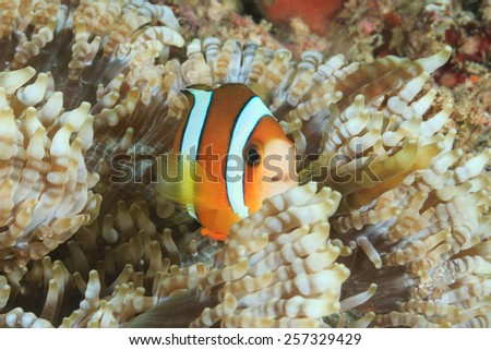 Small Clownfish in a host anemone on a tropical reef - stock photo
