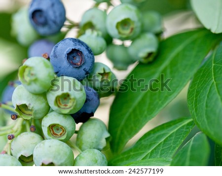 Small cluster of blueberries on the bush - stock photo