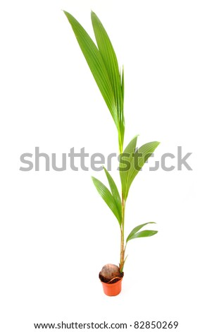 small coconut palm isolated on the white background