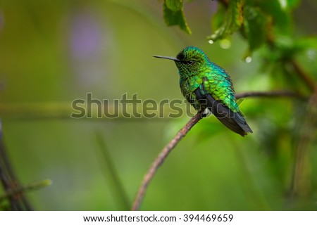 Small colorful shinning blue and green hummingbird, West Andean Emerald, Chlorostilbon melanorhynchus perched on stem in the garden agains blurred violet  lavender flowers in background. Colombia.