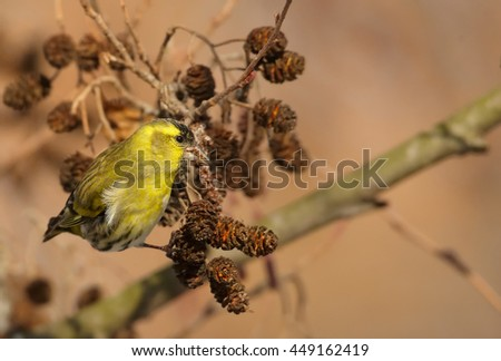 Small colorful, yellow and black passerine, Eurasian Siskin,Carduelis spinus,  feeding on catkins, male hanging on branch in early spring. Europe, Czech republic.   - stock photo
