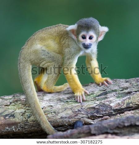 Small common squirrel monkeys (Saimiri sciureus), selective focus - stock photo