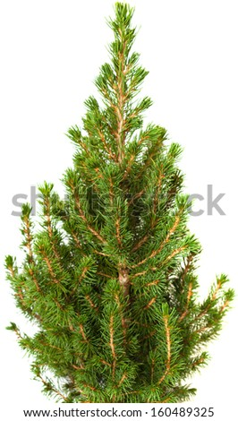 small conifer tree isolated on white - stock photo